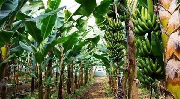تطبيق إلكتروني يحمي محاصيل مزارعي الموز