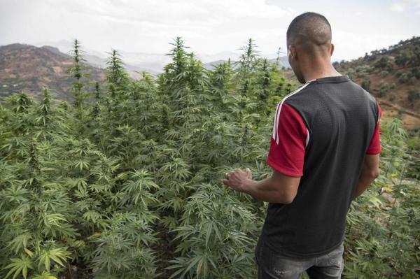 هل سيتمكن مزارعو الكيف بالمغرب من بيع محصولهم لهذه السنة دون مخاوف من الاعتقال؟