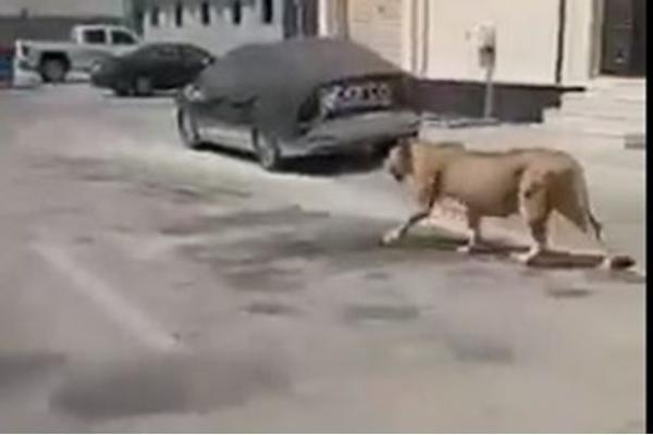 أسد هارب من صاحبه يثير الذعر في شوارع السعودية (فيديو)