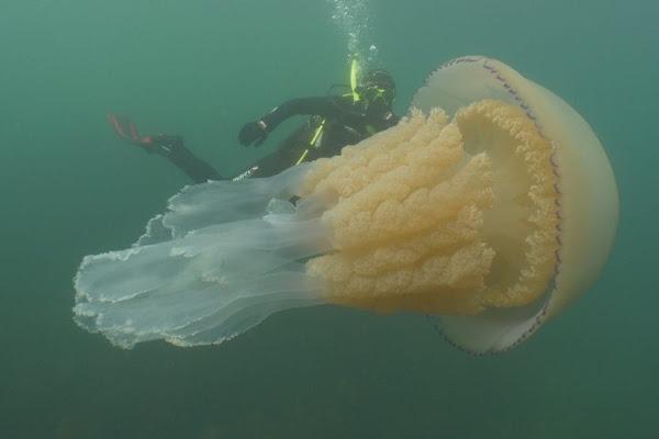غواصان يسبحان مع قنديل بحر بحجم إنسان (فيديو )
