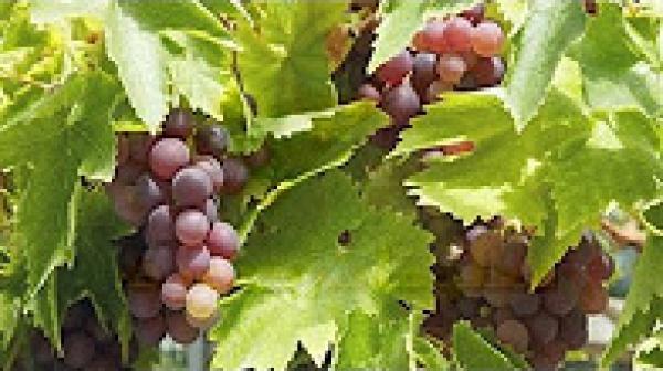 ما فوائد العنب وهل يناسب مريض السكري؟