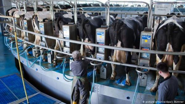 روبوت لتدليك الأبقار وعلفها وحلبها بالمزارع الألمانية