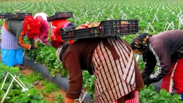إسبانيا قد تتراجع عن تشغيل ألاف العاملات المغربيات في حقولها بعد هذا المستجد