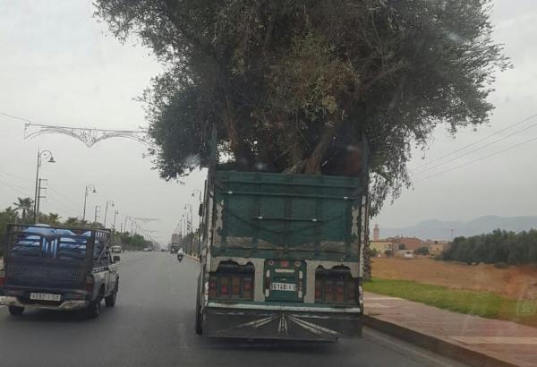 تفهم تحماق... شاحنة تنقل شجرة زيتون ضخمة تسبب في كارثة (صور)