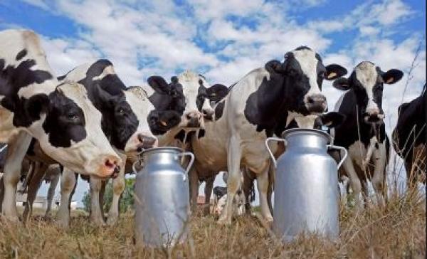 دكالة.. إنتاج 380 مليون لتر من الحليب سنويا