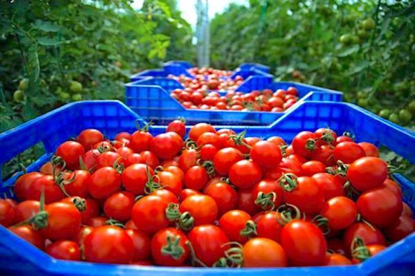 """تجار موريتانيون يلهبون أسعار """"الطماطم"""" بالأسواق المغربية وثمن الكلغ يصل إلى مستويات قياسية"""
