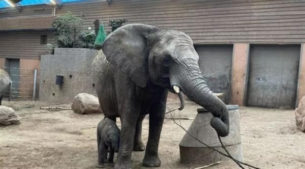 نفوق صغير فيل لا يتعدى عمره أسبوعين بعد نبذه من قطيعه في السويد