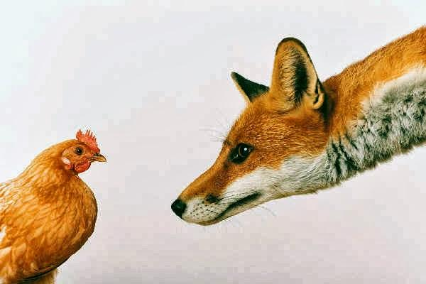 أغرب من الخيال...هجوم من دجاجات على ثعلب يتسبب في موته