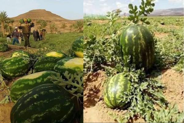 تفاديًا للإصابة والعدوى..مطالب بتوفير سكن لعمال و مزارعي الدلاح بالقرب من الضيعات بزاكورة