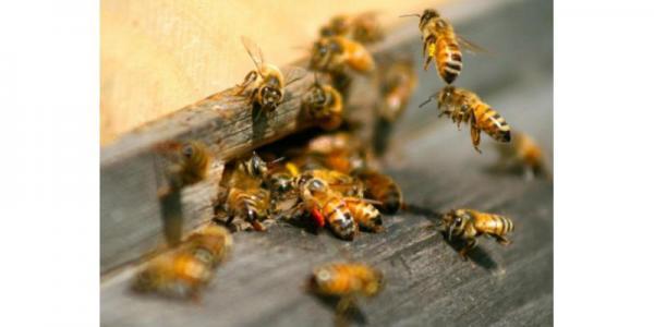 الإعجاز النبوي في ذكر عمر النحل