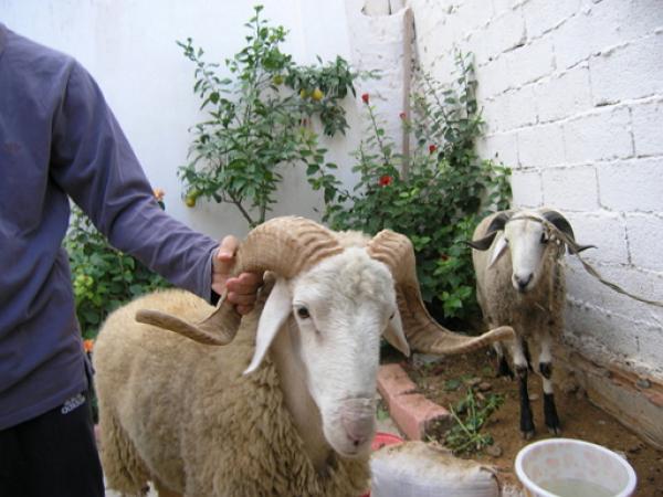 السجن لمهاجر مغربي ذبح أضحية العيد أمام إبنه بايطاليا