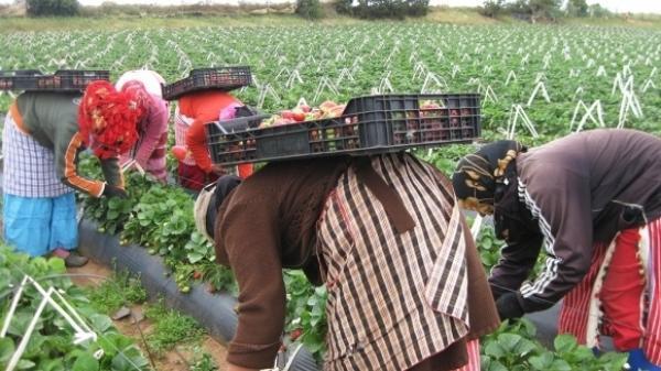 القضاء الإسباني يعيد فتح ملف عاملات حقول الفراولة المغربيات