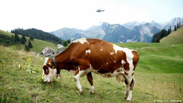 مروحيات للجيش السويسري تروي آلاف الأبقار العطشى