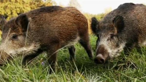 """وزارة """"أخنوش"""" توضح بخصوص ظهور أعداد من الخنازير البرية بالرباط"""