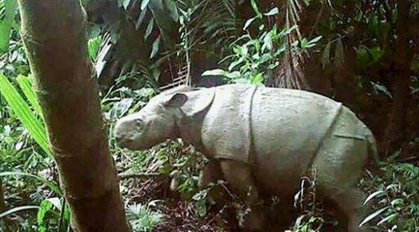 أول ظهور لصغيرين من الخرتيت الجاوي النادر في غابة إندونيسية