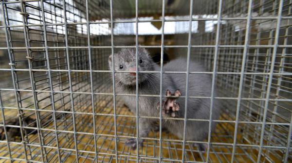 هولندا تشرع في إعدام حيوانات المينك بعد اكتشاف فيروس كورونا في 10 مزارع