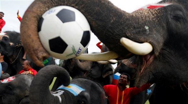 أفيال في ملاعب الكرة لمكافحة المراهنات قبل كأس العالم