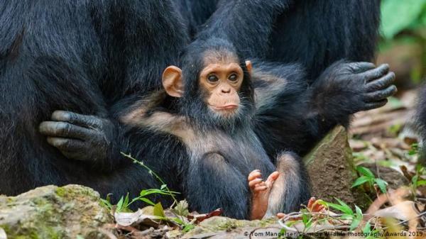 """دراسة: الشمبانزي """"اليتيم"""" يعاني أيضا """"نكسات"""" مدى الحياة!"""