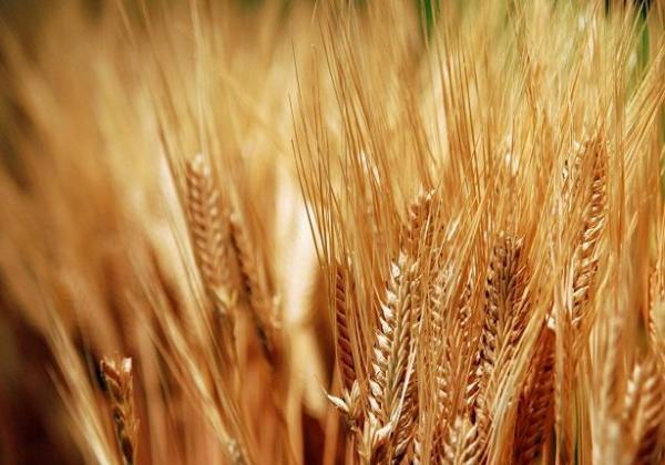 تجار أوروبيون: المغرب يريد شراء أزيد من 45 ألف طن من القمح الصلب