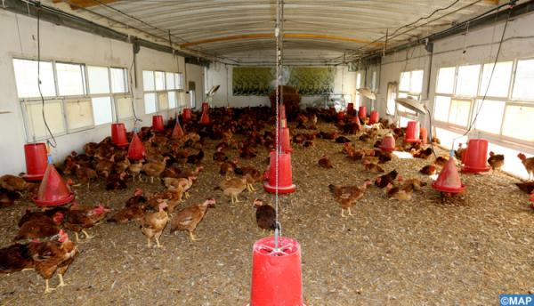 توقعات باستمرار تذبذب أسعار الدجاج دون استبعاد موجة غلاء جديدة