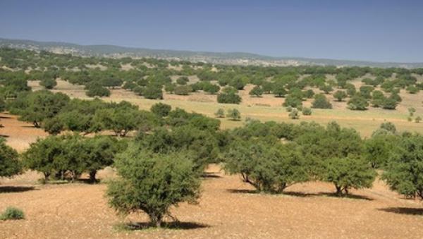 أخنوش: زراعة شجر الأركان الفلاحي بالمغرب ستصل إلى 50 ألف هكتار في أفق سنة 2030