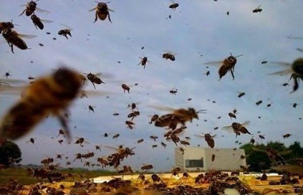 مأساة: أسراب من النحل تقتل مهاجرا مغربيا عاد لتوه من المهجر
