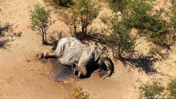 مسؤولون محليون يكشفون سبب النفوق الجماعي لفيلة بوتسوانا!