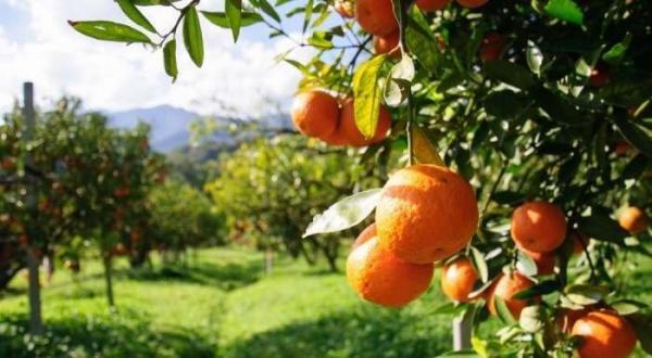 غريب ..الوسطاء يرفعون سعر البرتقال من 1.5 درهم لدى الفلاح إلى 8 دراهم عند المستهلك