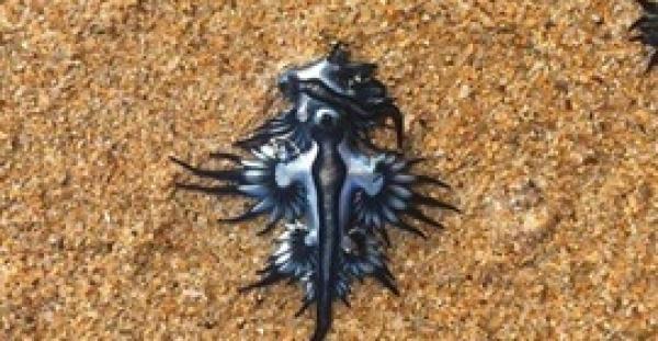 ظهور مخلوق بحري سام مضيء على شواطئ سيدني (صور)