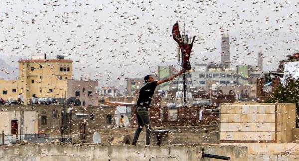 دول عربية تستعد لمواجهة أسراب الجراد الصحراوي