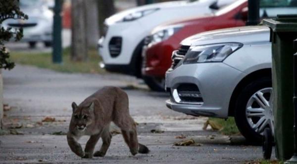 سلطات تشيلي تلقي القبض على أسد بري يتجول وسط الشارع