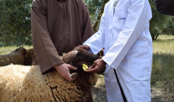 """من أجل تجنب تكرار سيناريو الغش في أضاحي العيد...""""أونسا"""" تواصل حملة """"الطوانك"""""""
