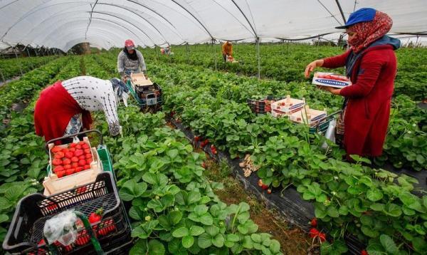 رسميا.. المغرب يشرع في إعادة العاملات المغربيات اللواتي يشتغلن في حقول الفراولة بهويلفا