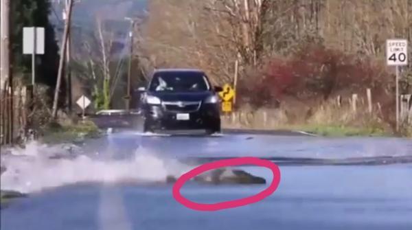 فيديو..أسماك تعبر الطريق أثناء مرور السيارات