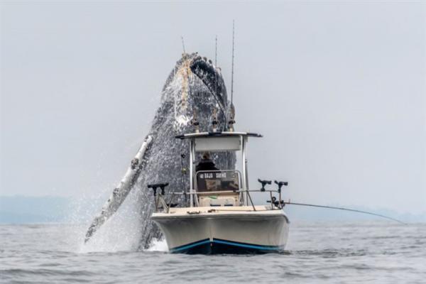 لقطات مذهلة لحوت عملاق يفاجئ صيادين بقفزة غير متوقعة (فيديو)