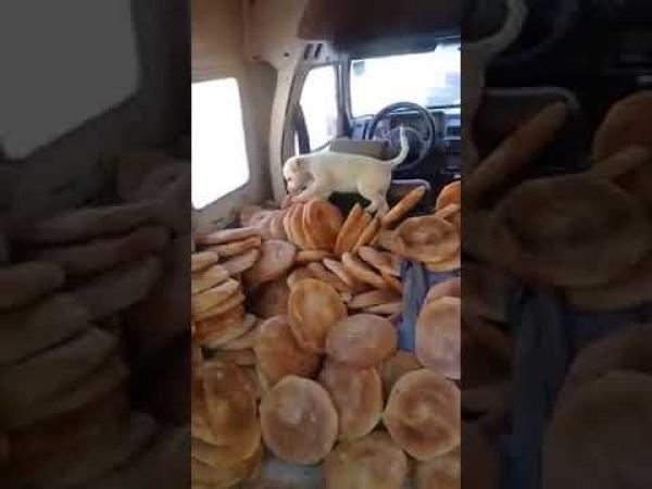 """في استهتار خطير بصحة المواطنين .. كلب يلعب فوق الخبز بداخل سيارة بالداخلة """"فيديو"""""""