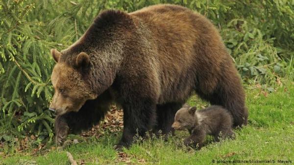 أمير متهم بقتل واحد من أكبر الدببة في أوروبا!