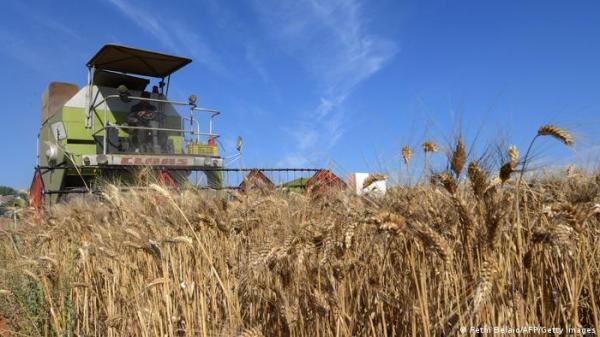"""مزارعون بتونس يعودون  إلى """"البذور الأصلية"""" ويتخلون عن الهجينة!"""