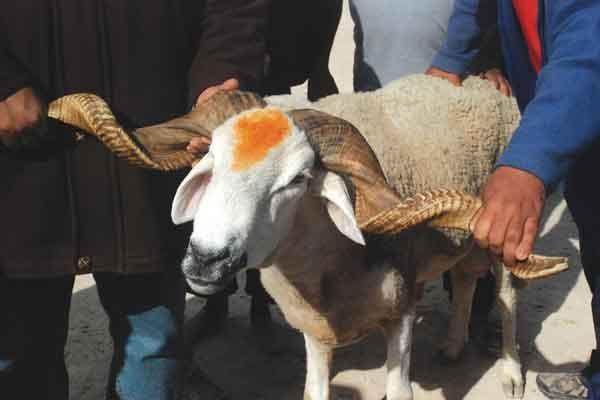 """""""الأونسا"""": ترقيم 6 ملايين رأس من الأغنام والماعز وتهيئة 30 سوقا إضافيا لبيع أضاحي العيد"""