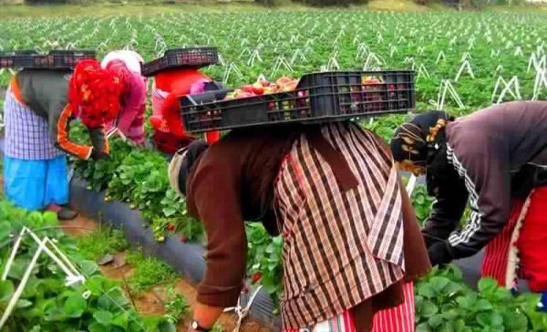 معاناة عاملات الفراولة تتفاقم بعد بلاغ الحكومة وهيئة  إسبانية تدخل على الخط