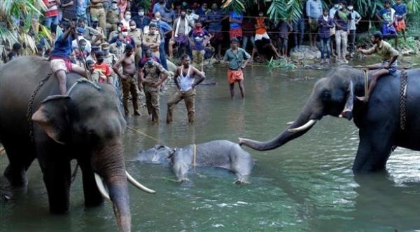 نفوق أنثى فيل حامل بعد تناولها فاكهة محشوة بمتفجرات