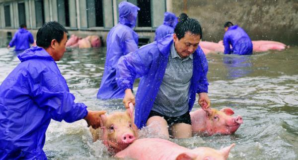 """للتغلب على العجز ،الصين تصنع """"خنزير فائق"""" ينمو أسرع ويزن أثقل"""