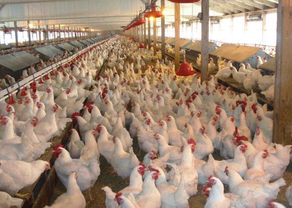اليابان تشرع في إعدام آلاف طيور الدجاج بعد تأكيد تفشي إنفلونزا الطيور