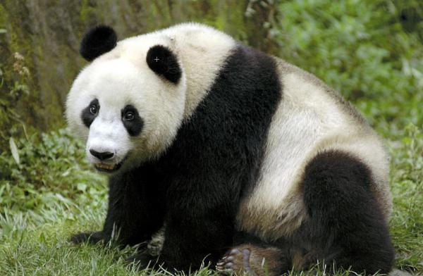 ذكر باندا يغادر أمريكا إلى الصين لحمايته من الانقراض
