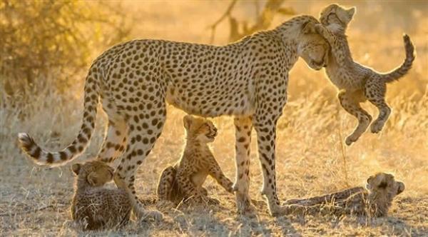 تقنية جديدة لإحصاء أعداد الحيوانات البرية في مواطنها الأصلية