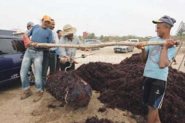 الجديدة: انطلاق موسم جني الطحالب برسم سنة 2021