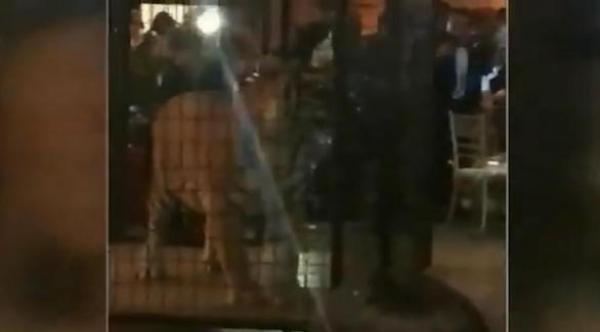 بالفيديو: نمر متوحش يشترك في حفل نهاية العام بمدرسة أمريكية