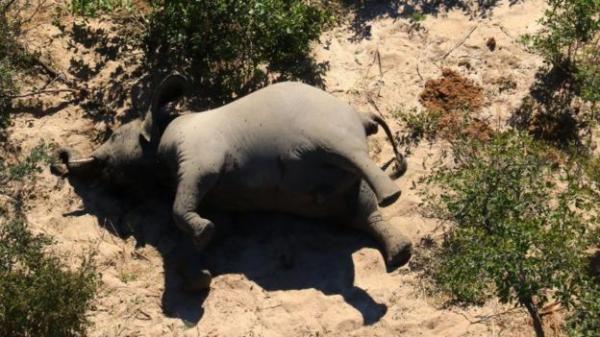 مرض غامض يتسبب في نفوق مئات الفيلة في بوتسوانا