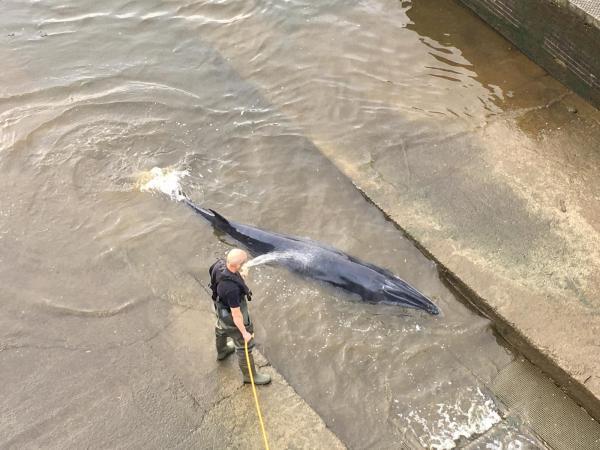 لحظة إنقاذ حوت عالق في نهر التايمز البريطاني(فيديو)
