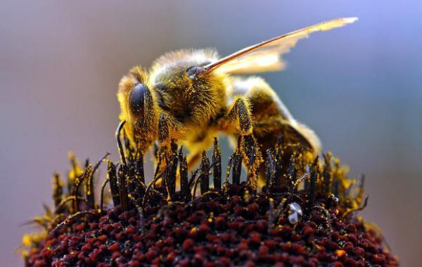 بعد الكلاب.. تدريب النحل للكشف عن مصابي كورونا!